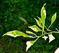 Citrus salicifolia in Jardin des Plantes de Toulouse 03.jpg