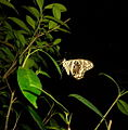 Citrus swallowtail at night.JPG