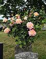 City of London Cemetery - flowering shrubs 17 Rose.jpg