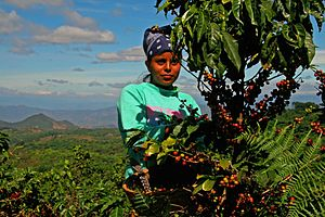 Rainforest Alliance - A woman picks coffee on the slopes of the Rainforest Alliance Certified cooperative Ciudad Barrios in El Salvador.