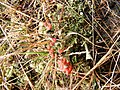 Cladonia coccifera 14513.jpg