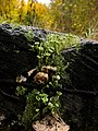 Cladonia fimbriata.jpg