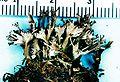 Cladonia multiformis.jpg