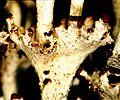 Cladonia rappii-3.jpg