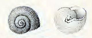 <i>Clanculus atropurpureus</i> species of mollusc