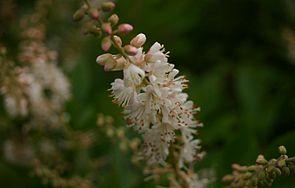 Erlenblättrige Zimterle (Clethra alnifolia)
