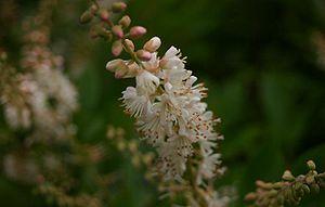 Clethra alnifolia - Image: Clethra alnifolia flowers