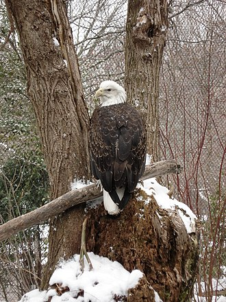 Cleveland Metroparks Zoo - American bald eagle found at Wolf Wilderness