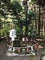 """Cleyera japonica """"Meotosakaki"""" on Mount Korasan.jpg"""