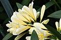 Clivia miniata 16zz.jpg