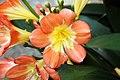Clivia miniata 9zz.jpg