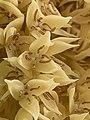 Close-up of male Phoenix roebelenii flowers showing stamens.jpg