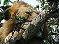 Closeup lion on tree.jpg