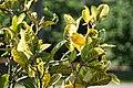 Codiaeum variegatum Yellow Thai 2zz.jpg