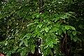 Coffea canephora W IMG 2427.jpg