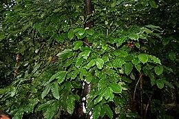 Coffea canephora W IMG 2427
