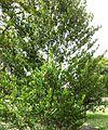 Coffea myrtifolia - Cafe Marron - Maurice 3.jpg