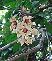 Cola acuminata, flower of the Kola Nut tree (9906050364).jpg