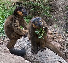 Male collared brown lemur sits on a rock behind a female, who swats and eats plant material