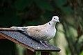 Collared Dove, France (124664149).jpg