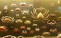 Collectie krabben in Muzee.JPG