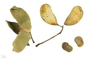 Mopane - Colophospermum mopane - MHNT