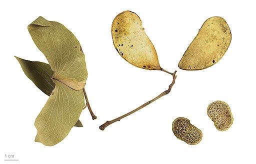 Colophospermum mopane MHNT.BOT.2015.2.6