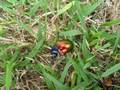 Colorful beetle from Brasília, Brazil in the grass 3.png