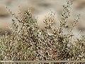 Common Chiffchaff (Phylloscopus collybita) (39560197112).jpg