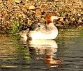 Common Merganser Duck (45667400).jpg