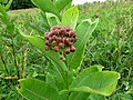 Common Milkweed (28531764060).jpg