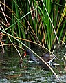 Common Moorhen Lacassine Nwr (28925239).jpeg