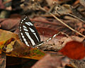 Common Sailor (Neptis hylas varmona) at Samsing, Duars, WB W IMG 5989.jpg