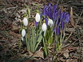 Common Snowdrop (Galanthus nivalis) and Crocus sp. 01.jpg
