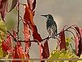 Common Starling (Sturnus vulgaris) (24690996936).jpg