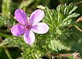 Common Storksbill (Erodium cicutarium) - geograph.org.uk - 581118.jpg