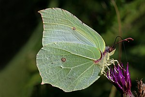 Gonepteryx rhamni - Male at Parsonage Moor, Oxfordshire