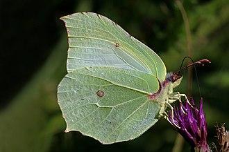 Gonepteryx rhamni - Female at Parsonage Moor, Oxfordshire