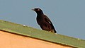 Common myna spotted at Madhurawada 01.JPG
