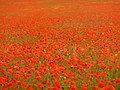 Compton Abbas, poppies galore - geograph.org.uk - 1541544.jpg