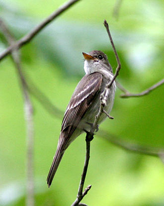 Tyrant flycatcher - Eastern wood pewee, Contopus virens