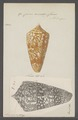 Conus amadis - - Print - Iconographia Zoologica - Special Collections University of Amsterdam - UBAINV0274 086 07 0015.tif