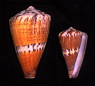 <i>Conus capitaneus</i> Species of sea snail