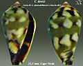 Conus denizi 2.jpg