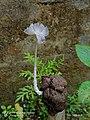 Coprinopsis lagopus 2.jpg