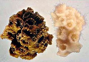 Coral bleaching - Healthy coral at left and bleached, but still living, coral to right