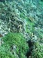 Coral di Kepulauan Seribu.jpg