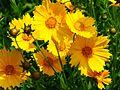 Coreopsis grandiflora 001.jpg