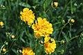 Coreopsis grandiflora IMG 3229.jpg
