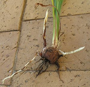 Rhizome - Stolons growing from nodes in corm of Crocosmia